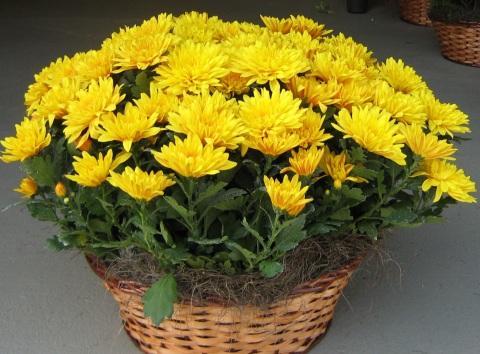 Feng shui paisagismo legal - Como cultivar crisantemos ...