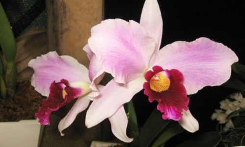 como-cultivar-orqudeas-23178