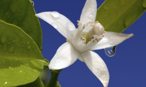 flor-de-laranjeira-39755