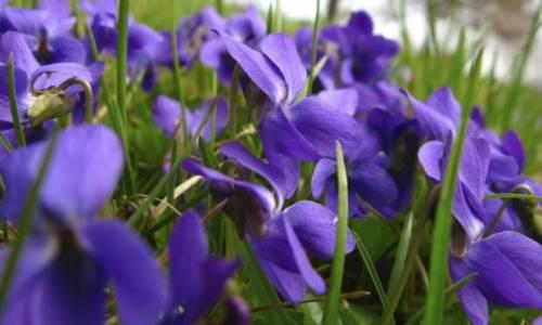 violetas-32164