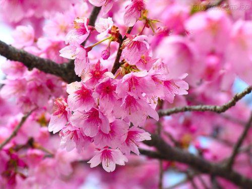 67405_Papel-de-Parede-Flor-de-Cerejeira_1024x7687